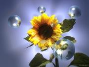 sonnenblume1.jpg